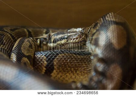 Close-up Photo Portrait Of A Snake Coiled Up And Resting