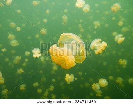 Jellyfish. The Ocean And Its Inhabitants. Underwater Photography Off The Coast Of The Maldives.