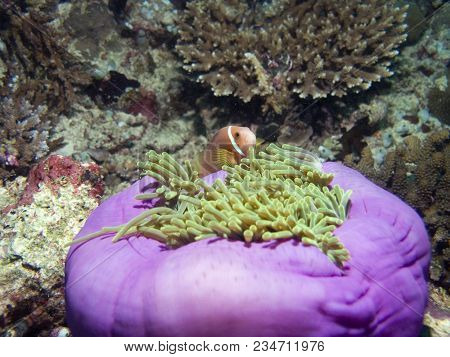 Clown Fish. The Ocean And Its Inhabitants. Underwater Photography Off The Coast Of The Maldives.