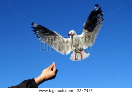Seagull Chasing Chips