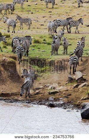 An Accumulation Of Zebras On The Shore Before Crossing To The Other Shore. Kenya, Africa