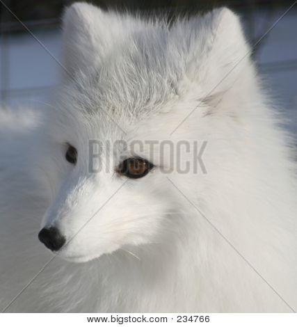 Artic Fox Portrait