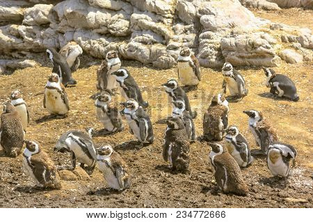 African Penguins Colony