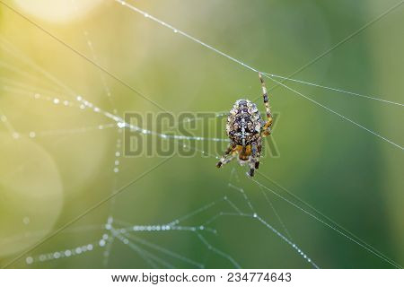 Female Spider Of Garden-spider Repairs Its Web With Drops Of Dew At Dawn