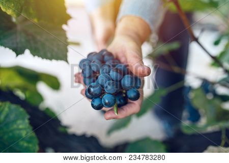 Female Viticulturist Harvesting Grapes In Grape Yard, Organic Farmer And Agronomist Picking Wine Gra
