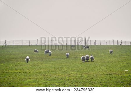 Herd Of Sheeps On The Green Foggy Meadows. White Sheeps On The Pasture With Big Fence On Background.