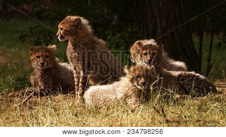 5 Months Old Cheetah Cubs Together In The Grass