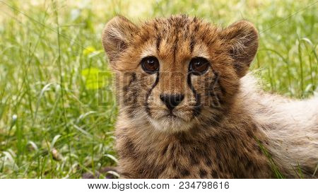 5 Months Old Cheetah Cub In High Grass