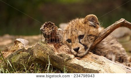5 Months Old Cheetah Cub Lying With Its Head On A Branch