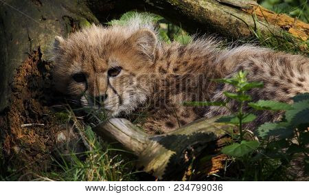 5 Months Old Cheetah Cub At The Feet Of A Tree