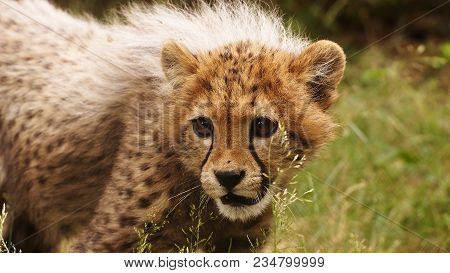 5 Months Old Cheetah Cub In The Grass