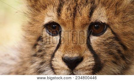 A Five Months Old Cheetah Cub Close Up