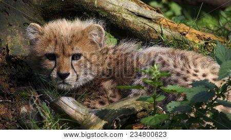 A Five Months Old Cheetah Cub  Hiding Out