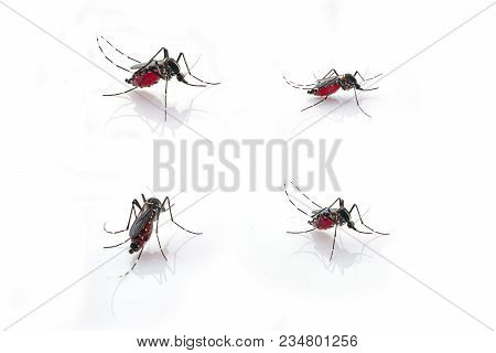 Mosquito (aedes Aegypti) Sucking Blood . Mosquito Is Carrier Of Malaria, Encephalitis, Dengue And Zi