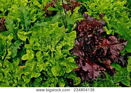 Fresh Lettuce Leaves. Red Leaf Lettuce Or Red Coral And Green Lettuce In Vegetable Farm Garden. Red