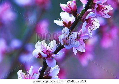 Pink With Red Peach Flowers,beautiful Pink Flowers And Buds Blooming On The Branch Of Peach Tree In