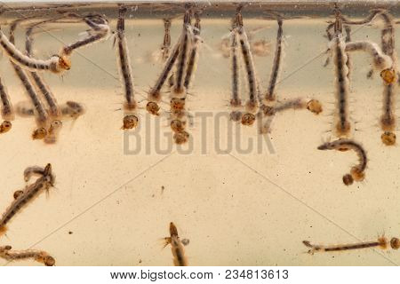 Mosquito larvae in dirty water and young mosquitoes,Instar with shell mosquitoes.Mosquitoes is vector born disease Dengue fever, Dengue hemorrhagic fever. poster