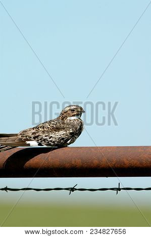 A Common Nighthawk Perched On An Old Rusted Farm Gate In Central Kansas.