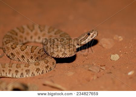 A Midget Faded Rattlesnake From Southern Utah, Photographed At Night In The Desert.