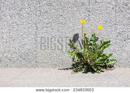 Yellow Dandelion Growing Between Sidewalk And Stone Wall. Front View.