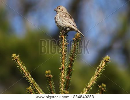 A Sparrow Perched Atop A Bristly Bush With A Blue Sky In The Background.