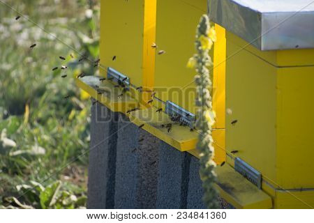 Bees Entering The Hive, Bees Flying To Hive. Bees Defending Hive.