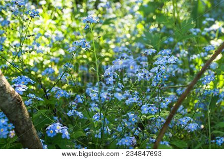Close-up Of The Blooming Myosotis Or Forget-me-not Flowers.