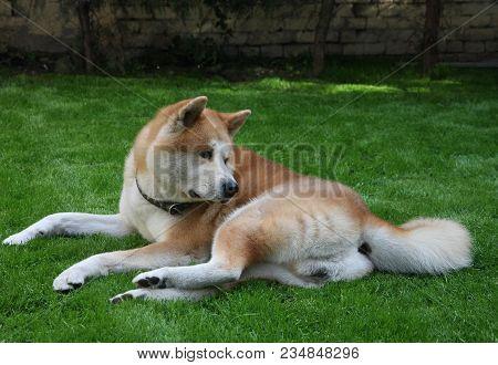 Beautiful Lazy Akita Inu Enjoying On The Grass