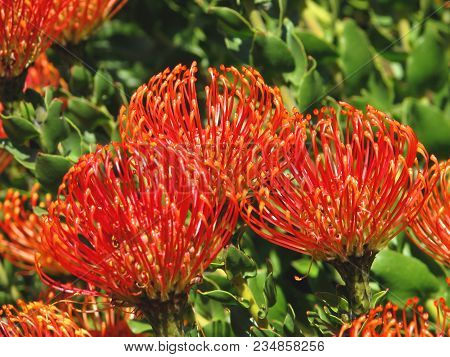 Pincushion Proteas In Full Bloom, And Are Indigenous To South Africa 007