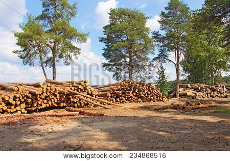 Huge woodpile of freshly harvested beech logs on a forest road under sunny skies. Trunks of trees cut and stacked in the foreground, forest in the background. poster