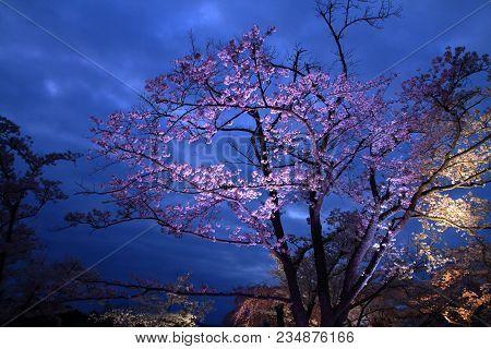 Cherry Blossoms In Sakura No Sato, Izu, Shizuoka, Japan (night Scene)