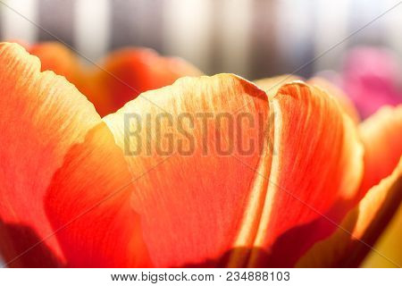 Natural Background Of Sunlit Yellow-red Tulips Close-up. Focus On The Petal In Foreground.