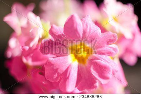 Close-up Beautiful Sunlit Gently Pink Flowers Bouquet. Soft Focus.