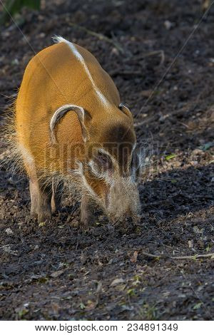 Photo Of A Red River Hog Feeding In A Wood