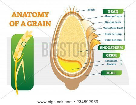 Grain Anatomical Layers Vector Illustration Diagram With Bran, Endosperm, Germ And Hull. Biology Sci
