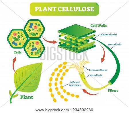 Plant Cellulose Biology Vector Illustration Diagram With Plant Cell Walls Structure And Fiber Scheme