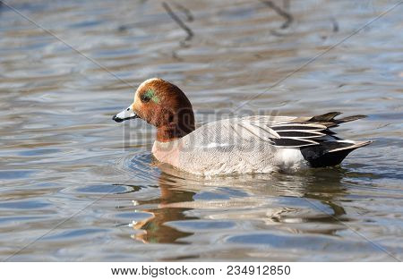 A Male Eurasian Wigeon Duck At Bc Canada