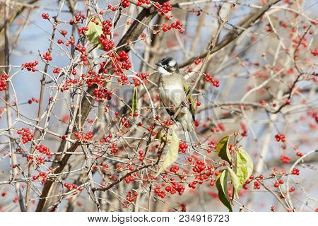 Light-vented Bulbul, Chinese Bulbul At Beijing China
