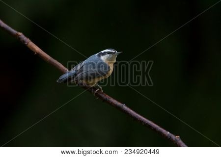 Red-breasted Nuthatch Bird In Winter At Bc Canada