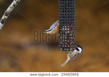 Red-breasted Nuthatch And  Black-capped Chickadee Bird In Winter At Bc Canada