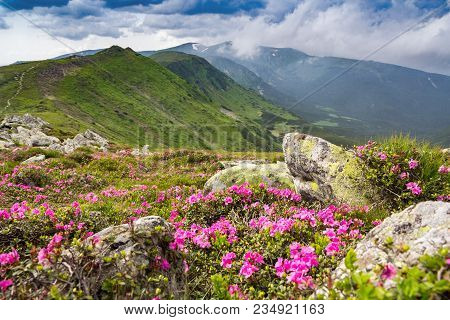 Blossoming Pink Rhododendron In The Mountains, Flowering Valley On Top Of The Ridge In Carpathian