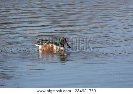 Swimming Male Northern Shoveler At Bc Canada
