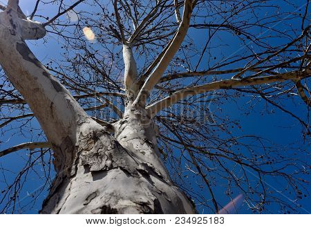 White Trunk And Branches Of A Sycamore Tree Silhouetted Against A Blue Sky