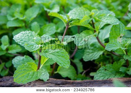 Peppermint Herb Or Vegetables For Cook , The Plant Is Useful In Cooking As A Herb To Extract Fresh S