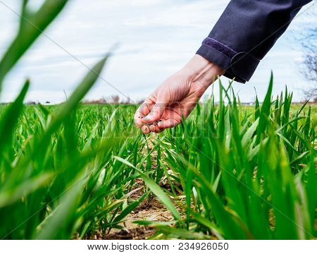 Professional Agronomist Agriculture Woman Biologist Inspecting The Wheat Plant Harvest On A Spring D