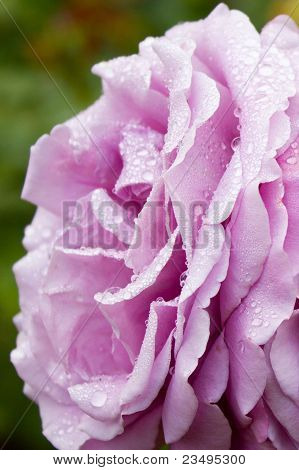 Close-up of violet rose with water droplets