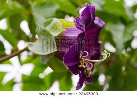 Close-up of violet cobaea scandens