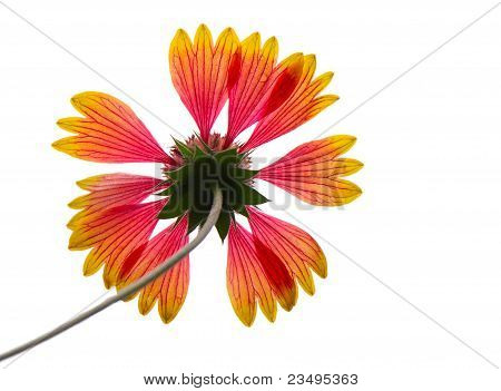 Close-up of gaillardia, isolated