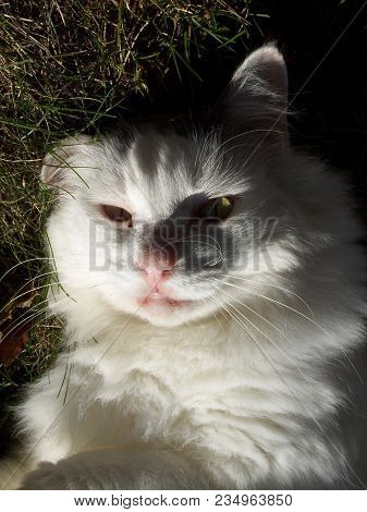White House Cat Laying On Grass With Evening Sunlight Reflecting Off Of His Face