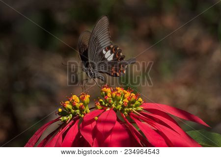 Common Mormon Butterfly (papilio Polytes Linnaeus), Sucking Nectar From Fully Bloomed Red Flower. Im